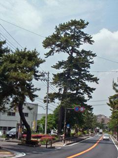 高い松の木