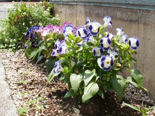茅ヶ崎で見かけた花