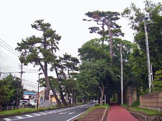 大磯の松並木で最も高い松